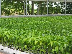 Pieds de piment d'Espelette prêts à planter - Bipertegia