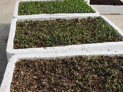 Différentes étapes de semis des piments dEspelette - Bipertegia producteur de piment dEspelette